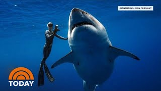 Download Hawaii Diver Swims With Record Breaking Largest Great White Shark | TODAY Video