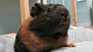 Download New Pet Room Morning Routine: 11 Guinea Pigs & 1 Rabbit Video