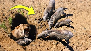 Download OH MY GOG! Harsh life of Warthog! The God can't help Warthog escape the power of Lions Video