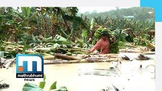Download Heavy Rains In Wayanad Result In Huge Crop Losses| Mathrubhumi News Video