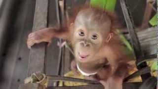 Download Baby Orangutan Rickina! Video