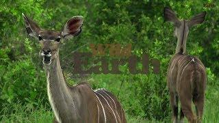 Download WildEarth - Sunrise Safari - January 20, 2020 Video