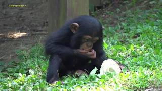 Download Aug 2019 Chimps at Toyohashi zoo Video