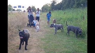 Download A day in my life. Walking the Giant pitbulls with my family Video