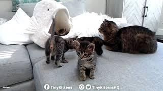 Download Kittens meet Grandpa Mason! TinyKittens Video