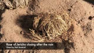 Download Life cycle, Rose of Jericho resurrection plant time lapse Video