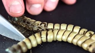 Download Cutting Open A Rattlesnake Rattle Close Up Video