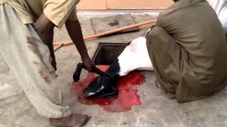 Download Qurbani of goat 2013 Video