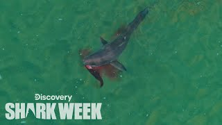 Download Drone Spots Shark Hunting Seal | Shark Week Video