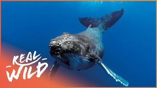 Download Sea Shepherd Protecting Humpbacks From Whaling! | The Blue Realm | Wild Things Documentary Video