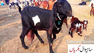 Deonar bakra mandi on 14 August 2018 | with prices| Deonar 2018