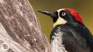Download You'd Never Guess What an Acorn Woodpecker Eats | Deep Look Video