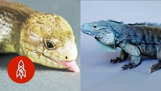 Download These Amazing Reptiles Are on the Brink Video