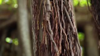 Download Climbing Banyan Trees on Lord Howe Island Video