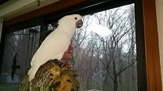 Download Onni the baby cockatoo is enthralled see's snow for the first time Video
