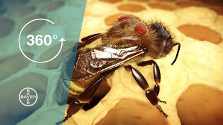 Download Varroa Mites: A Danger to Bees 360° Video Video