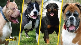 Download أخطر وأقوى 10 كلاب في العالم Video