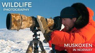 Download Wildlife photography - Musk Oxen part 1 | Behind the scenes with wildlife photographer Morten Hilmer Video