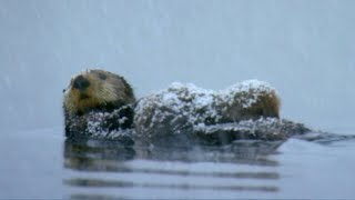 Download Otter Loses Cub in Freezing Waters | Spy In The Snow | BBC Earth Video