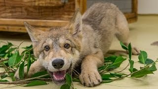 Download Cute Baby Wolf Puppy Playing at the San Diego Zoo Video