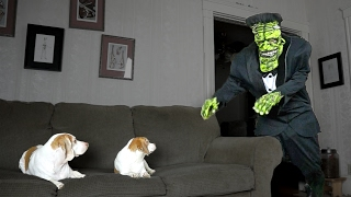 Download Dogs Love Frankenstein Prank: Cute Dogs Maymo & Penny Video