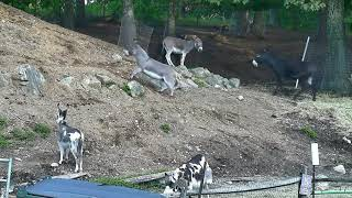 Download Early am zoomies donkey hill 9242018 Video