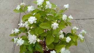 Download How to grow Jasmine plant in the pot Video