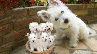 Download Westie- The white Terrier dog breed giving birth to cute puppies Video