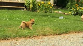 Download Shiba Inu Puppies For Sale Levi Kauffman Video
