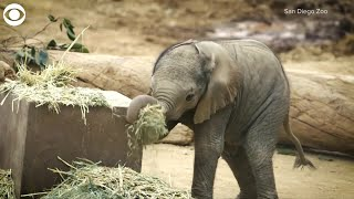 Download Two baby elephants Video