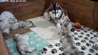 Download Мама хаски играет со щенком Video