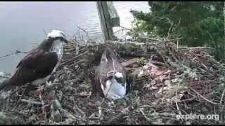 Download Hog Island, ME .. Audubon Osprey Cam .. 6-6-12 .. Rachel's home to take over egg duty. Video