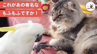Download 「気持ちいい~💕」猫さんのモフモフに虜になるオウムさん【PECO TV】 Video