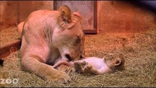 Download Sit Down With Lion Cubs at Woodland Park Zoo Seattle Video