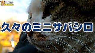 Download 【野良猫】久々のミニサバシロ【地域猫】 Video