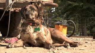 Download Meet the Kilcher Family Dogs | Alaska: The Last Frontier Video