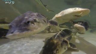 Download 세계3대진미, 철갑상어와 캐비어 sturgeon & caviar [어영차바다야] Video