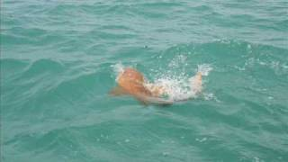 Download Goliath Grouper Swallows Shark Video
