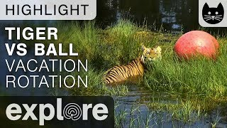 Download Tiger Vs Ball - Big Cat Rescue - Live Cam Highlight Video