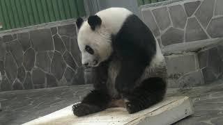 Download 王子動物園 タケノコさん見ぃ~つけなのぉ~♪(2018/04/21) Video