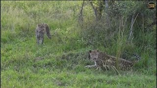 Download Safari Live Tingana Male Leopard along with his son Hosana this afternoon April 07, 2018 Video