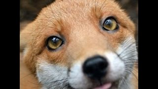 Download 귀여운 붉은 여우 북극 여우 아기 여우의 애교 레전드 모음 Video