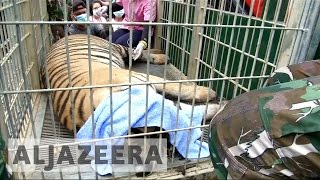 Download Thailand's 'Tiger Temple' granted new life Video