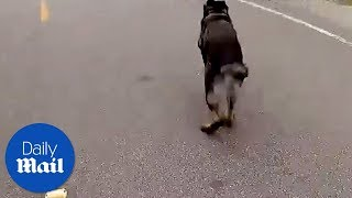 Download K9 dog chases thief - Daily Mail Video