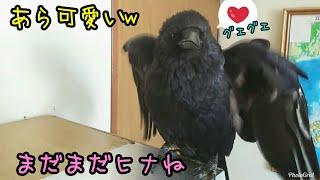 Download 【まるでヒナ】カラスの親鳥気分を味わえる映像であるw おまけ:猫バージョン 20181003、カラス&猫 Video