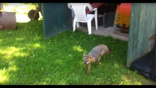 Download When Animals Attack: Rabid Fox: Rabies Video