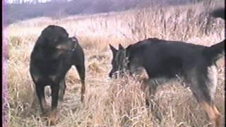 Download Dominant Behavior of German Shepherd and Rottweiler Video