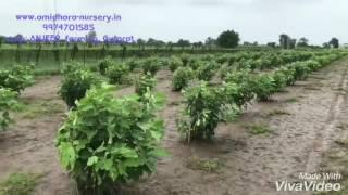 Download Fig {Anjeer} farming in Gujarat Video
