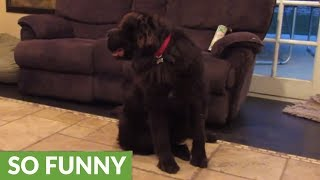 Download Huge dog loves playing with little girl Video