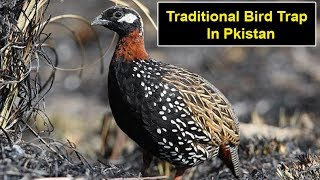 Download Best Traditional Bird Trap for partridge, Grey & Black francolin Video